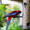 Beautiful Crimson Rosella